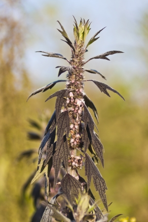 Healing plant motherwort or Leonurus cardiaca photo