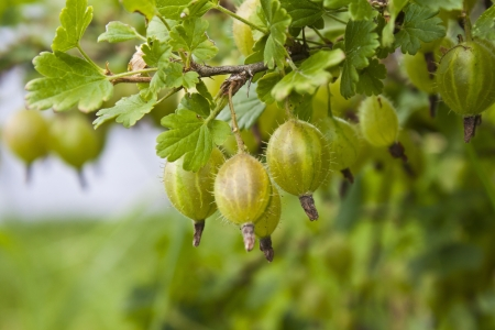 grosella: Rama de grosella Ribes uva-crispa Foto de archivo
