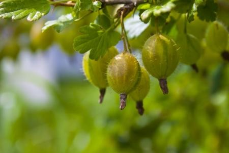 gooseberry bush: Three gooseberries on the branch closeup