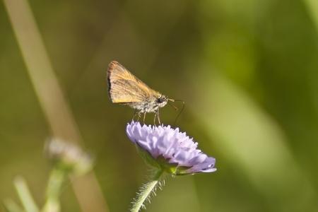 skipper: Little skipper butterfly on the flower