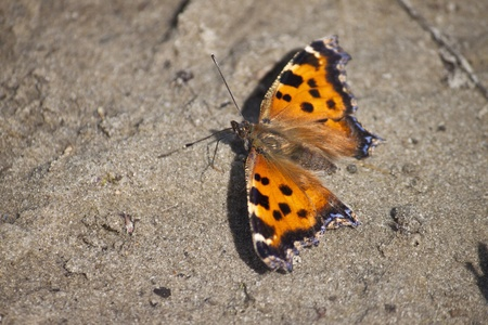 nymphalis: Yellow-legged tortoiseshell  Nymphalis xanthomelas  drinks the water at the sand Stock Photo