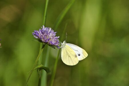 Cabbage butterfly on the field scabious flower photo