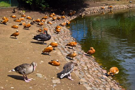 Many waterbirds - ducks, swans and gooses - at the bank of pond in the Moscow zoo photo