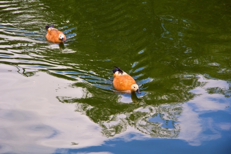 Two ruddy shelducks  Tadorna ferruginea  swims at the pond in the Moscow zoo photo