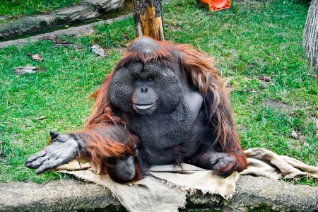 Aged male orangutan in the Moscow zoo Stock Photo