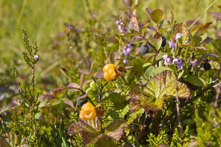hummock: Karelia  Hummock with berries at the swamp Stock Photo