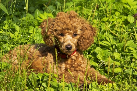 July  The red miniature poodle puppy lies on the green grass