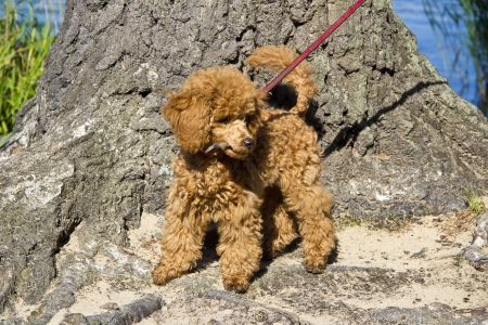 miniature poodle: The red miniature poodle puppy on a leash