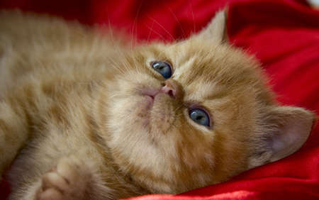 Cute red persian kitten lies on a red cloth