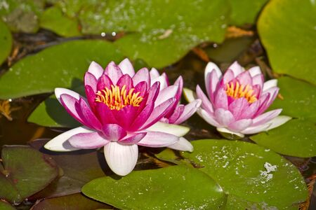 Two lotus flowers in water Stock Photo