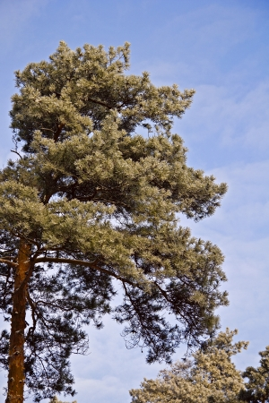Frosty pine crown in cold sunny winter day Stock Photo - 17084346