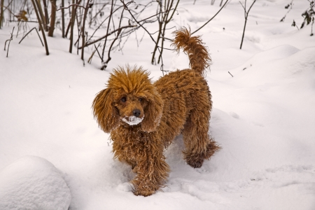 miniature poodle: Walking female junior red miniature poodle stays on a snowbank Stock Photo