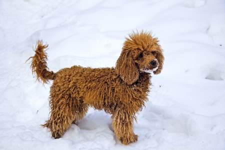 Walking female junior red miniature poodle stays on a snowbank Stock Photo
