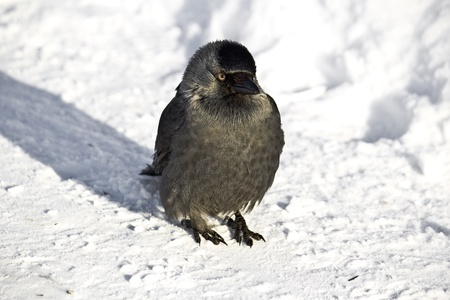 corvidae: Jackdaw on snow  Cold sunny winter day