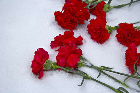 glum: Volgograd, day of the 70th anniversary of Stalingrad victory  Red carnation flowers on snow