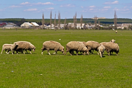 Flock of sheeps in a Crimean steppe