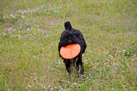 Kerry-blue terrier female junior runs with freesbey in teeth Stock Photo - 20432396