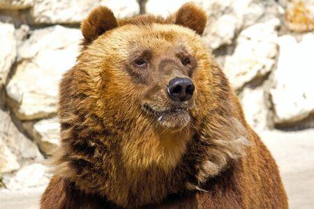 arctos: Orso bruno Ursus arctos o nello zoo di Mosca Archivio Fotografico