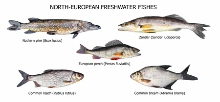 European fishes: pike, zander, perch, roach, bream, isolated on white photo