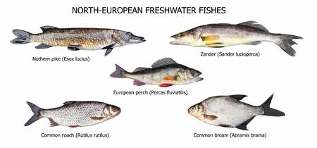 zander: European fishes: pike, zander, perch, roach, bream, isolated on white
