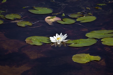 waterlilly: White waterlilly  Nymphaea alba  in Karelia