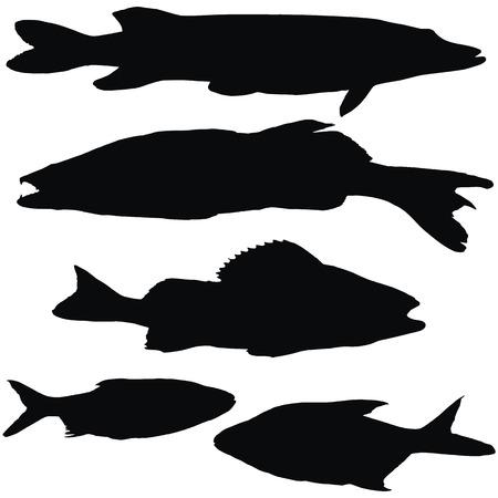 Europäische Fische: Hecht, Zander, Barsch, Plötze, Brassen, Satz von schwarzen Silhouetten vectoe Standard-Bild - 23116118