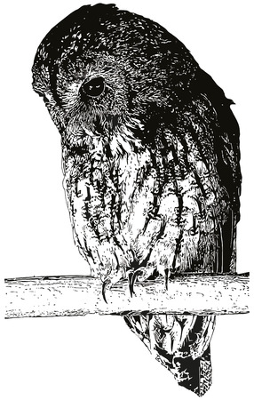 roost: Owl on the roost, vectorised imitation of the ink drawing