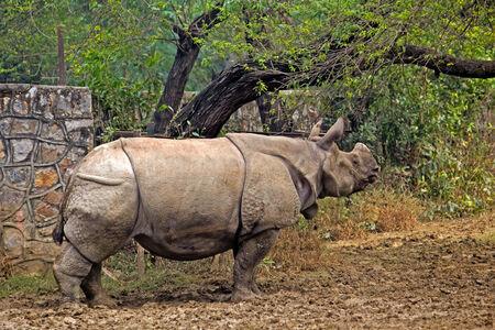 Greater indian rhinoceros  Rhynoceros unicornis  in New Delhi zoo