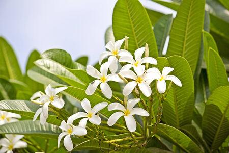 Champa or Plumeria flowers  Ahmedabad, Gujarat