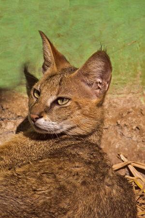Jungle cat (Felis chaus) in Nandankanan zoo, Orissa
