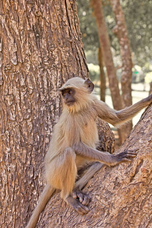 Langur monkey on a tree branch Stock Photo