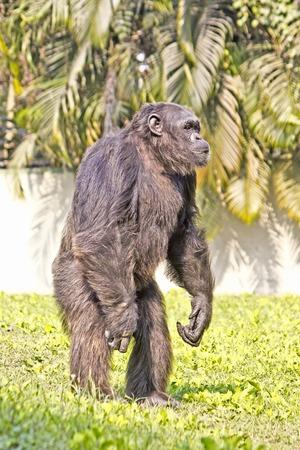 darwinism: Chimpanzee (Pan troglodytes) stays on a grass