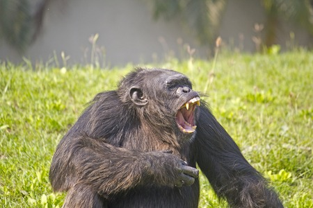 Portrait of the roaring Chimpanzee (Pan troglodytes)