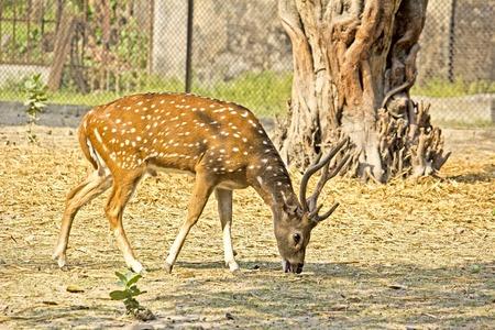 nippon: Pasturing male spotted deer (Cervus nippon) Stock Photo