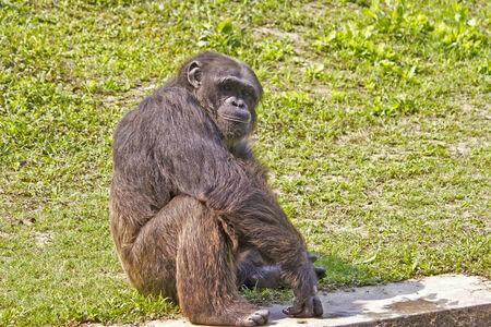 darwinism: Chimpanzee (Pan troglodytes) sits on a grass