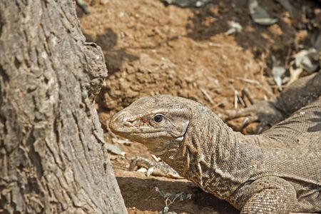 varanus: Monitor lizard, Varanus bengalensis