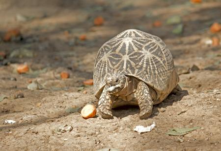 elegans: Star tortoise, Geochelone elegans