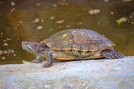 slider: Pond slider or red-eared slider