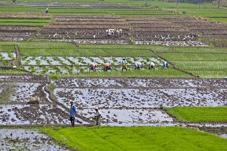 granger: Indian grangers on the rice field. Karnataka, close to Mysore Stock Photo