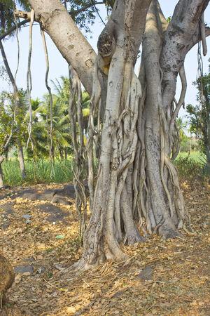 karnataka: Ra�ces de la higuera de Bengala en el sur de la India, Karnataka Foto de archivo