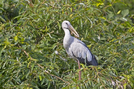 anastomus: Stork on the branches of tre tree. Shore of the South-Indian river Kaveri