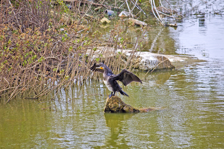 Black cormorant on the stone in the park Lal Bagh, Bangalore photo