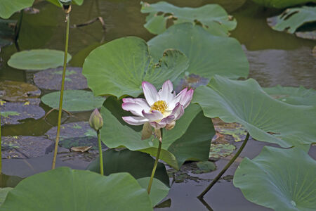 Lotus flower on the Lotus lake in the park Lal Bagh, Bangalore photo