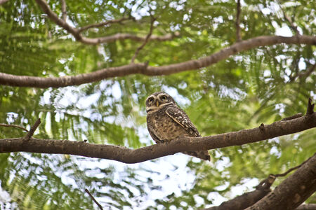 Little owlet on the branch in the park Lal Bagh, Bangalore photo