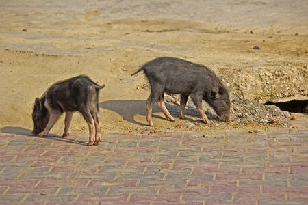 Little pigs on the street in Vrindavan photo
