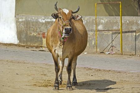 enceinte: Pregnant cow on the street in Vrindavan