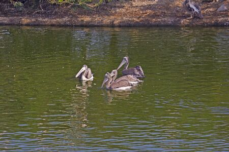 indian village: Pelicans on the pond close to South Indian village Uppalapadu Stock Photo