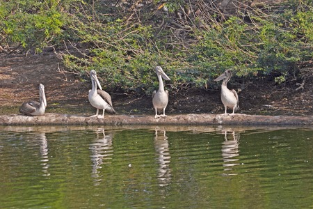 pelicans: Pelicans on the pond close to South Indian village Uppalapadu Stock Photo