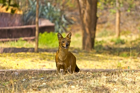 cuon: Dhole or Indian red wolf (Cuon alpinus) Stock Photo