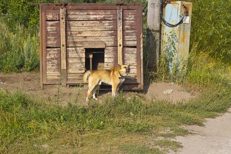watchdog: Watchdog barks to a walker. Vladimir area, Russia